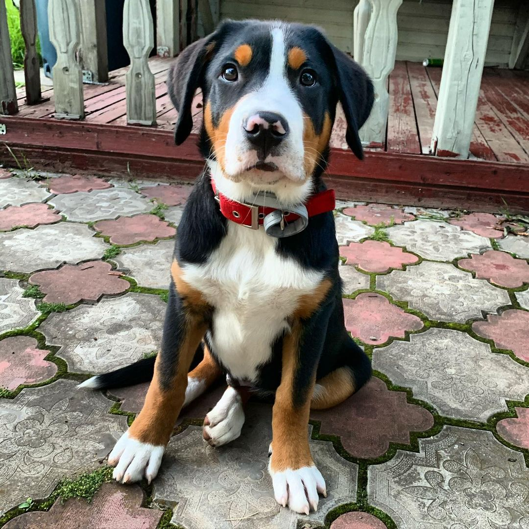 17 Pros and Cons of Owning Greater Swiss Mountain Dogs ...