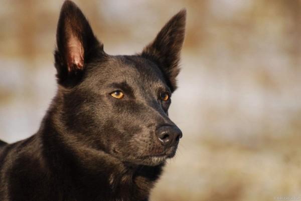 Australian Kelpie: Dog Breed Information - PetTime