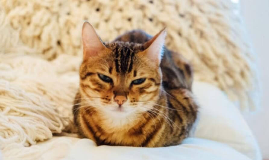 What Do Therapy Cats Do? - todocat.com